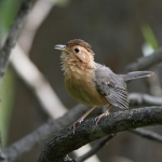 Brown-capped Babbler