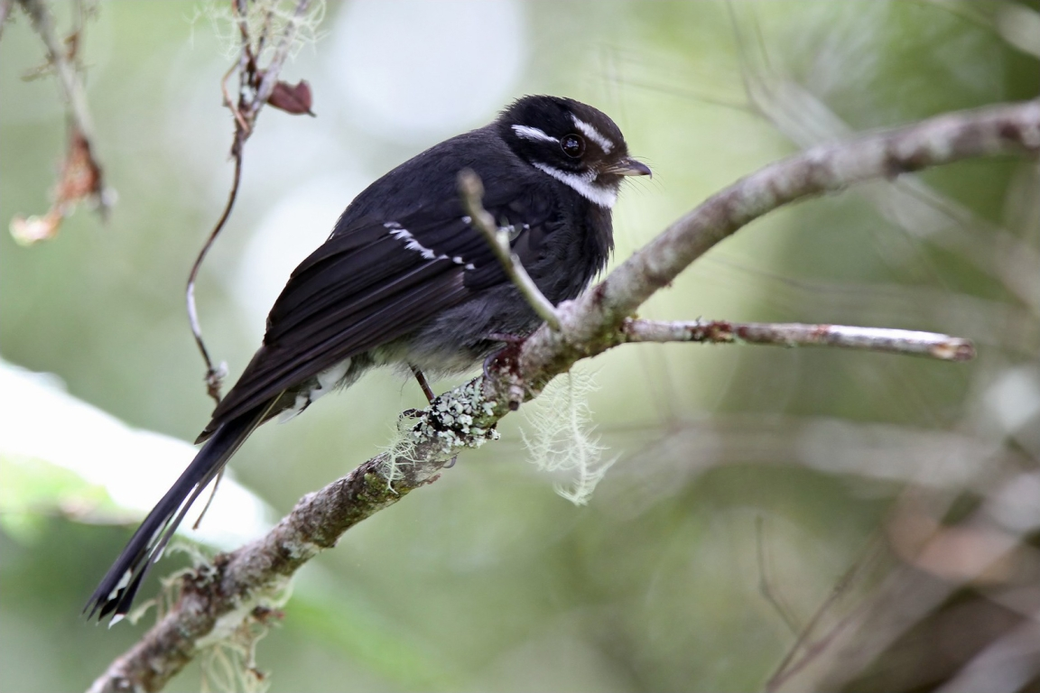 Friendly Fantail