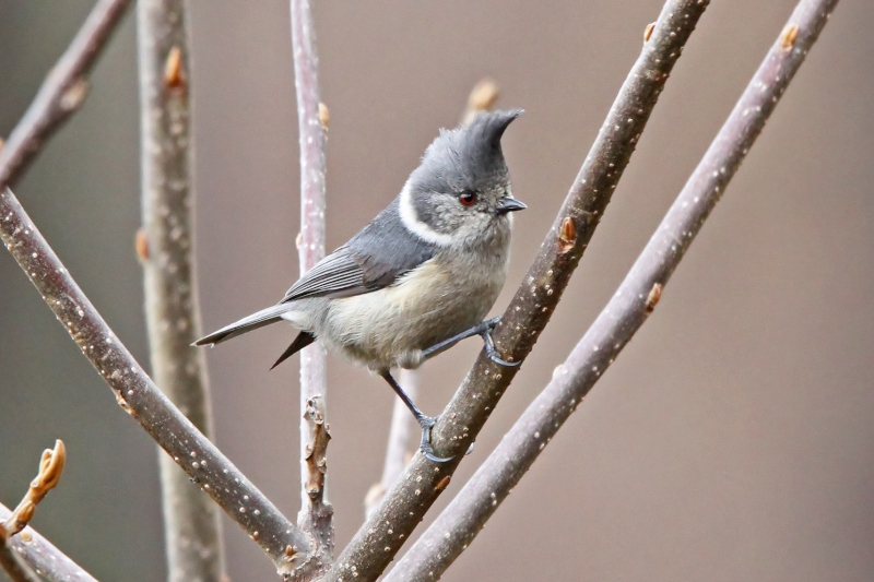 Grey Crested Tit