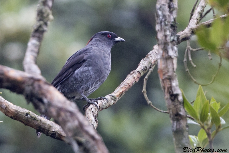 Red-crested Cotinga