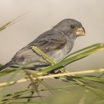 Grey Seedeater