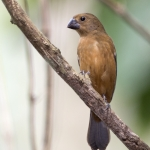 Thick-billed Seed Finch