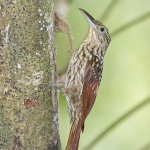 Black-striped Woodcreeper