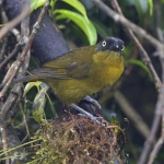 Pirre Bush Tanager