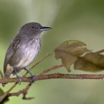 Spot-crowned Antvireo