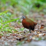 Madagascan Wood Rail