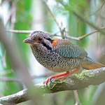 Scaly Ground Roller