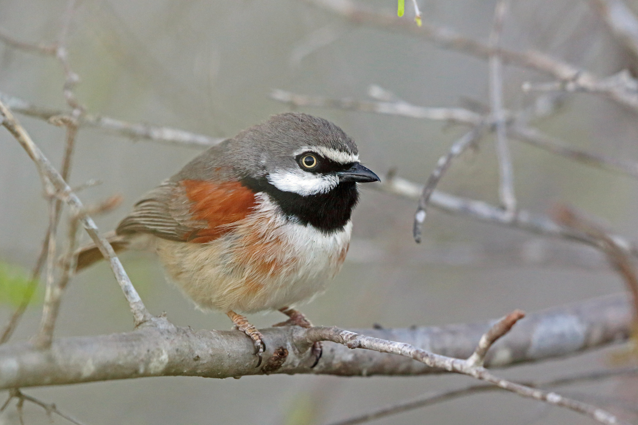 Red-shouldered Vanga