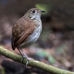 Thrush-like Antpitta