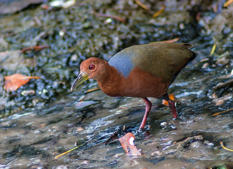 Rufous-necked Wood Rail