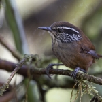 Munchique Wood Wren