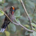 Rainbow-bearded Thornbill