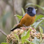 Blue-backed Conebill