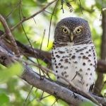 African Barred Owlet