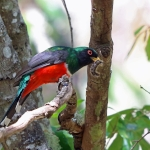 Mountain Trogon