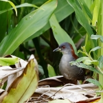 Grey-breasted Crake