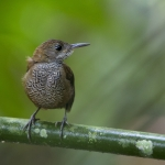 Southern Nightingale-Wren