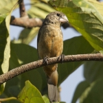 Large-billed Seed Finch