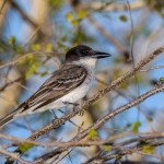 Giant Kingbird