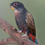 Bronze-winged Parrot