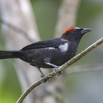 Scarlet-browed Tanager