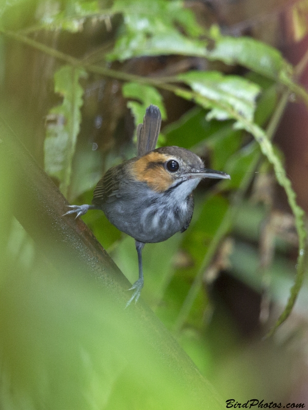 Tawny-faced Gnatwren