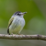 Black-capped Pygmy Tyrant