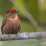 Striolated Manakin