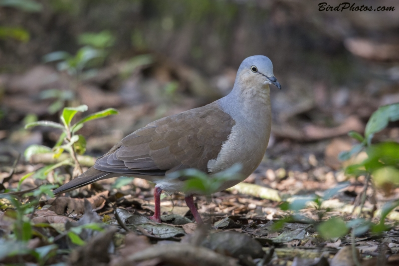 Grey-headed Dove