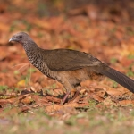 Colombian Chachalaca