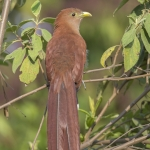 Squirrel Cuckoo