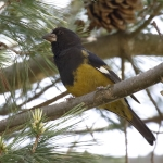 White-winged Grosbeak