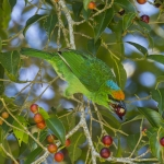 Flame-fronted Barbet