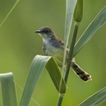 Bar-winged Prinia