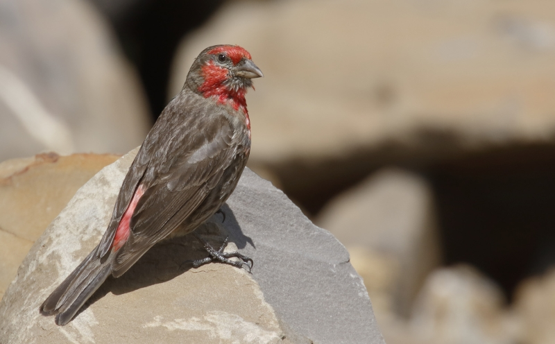 Red-fronted Rosefinch