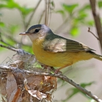 Malagasy Warblers