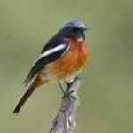White-throated Redstart