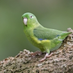 Large-billed Parrotlet