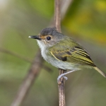 Rusty-fronted Tody-Flycatcher