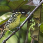 Yellow-browed Antbird