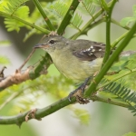 White-lored Tyrannulet
