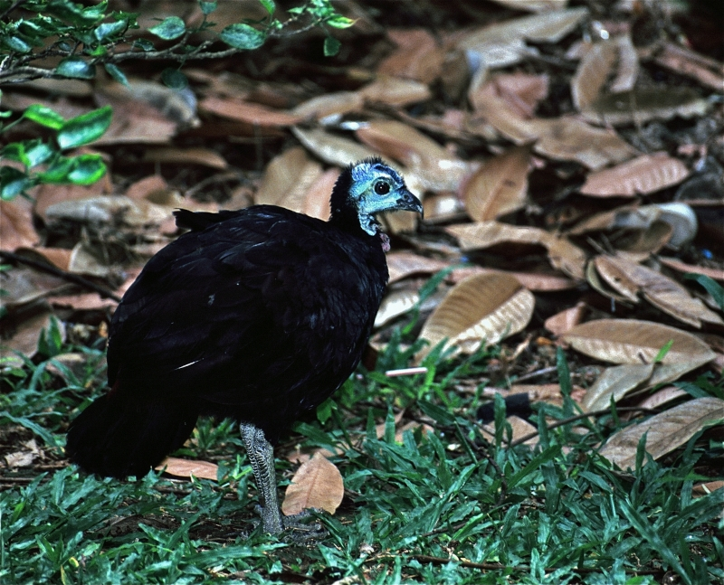 Wattled Brushturkey