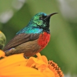 Northern Double-collared Sunbird