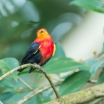 Crimson-hooded Manakin