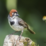 Cabanis's Ground Sparrow