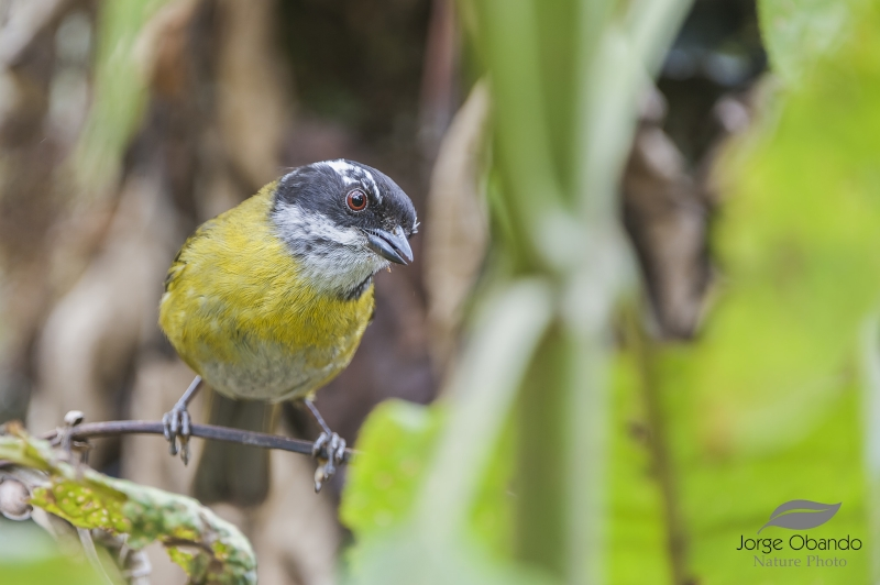 Sooty-capped Bush Tanager