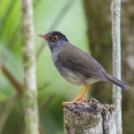 Black-headed Nightingale-Thrush