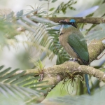 Keel-billed Motmot