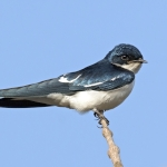 Pied-winged Swallow