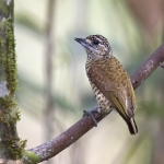 Golden-spangled Piculet